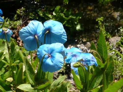 Himalayan garden Grewelthorpe Meconopsis7