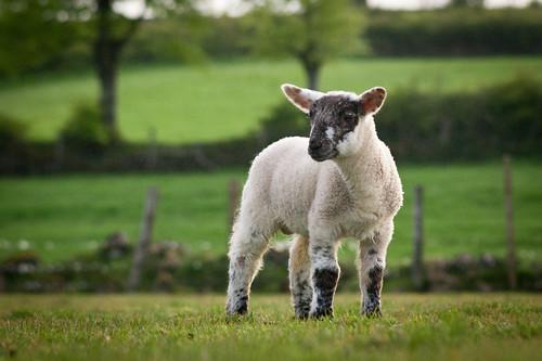 無料写真素材, 動物 , 哺乳類, 山羊・ヤギ