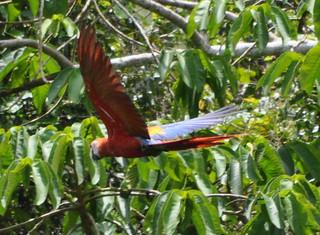 macaw glides CROP