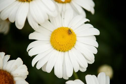 Daisy Bug