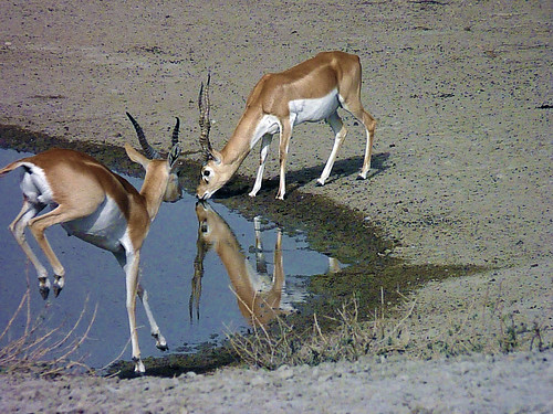 a pair of blackbuck at tal chhapar