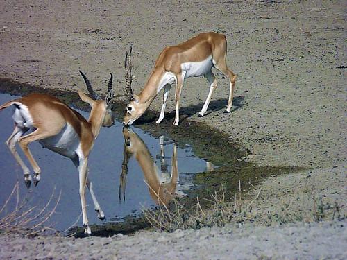 a pair of blackbuck at tal chhapar