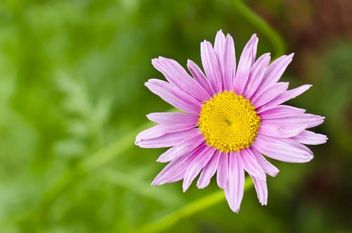 flowers summer house macro green grass bokeh violet daisy tamron60mm gardenwilting