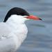 Common Tern closeup