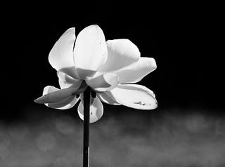 Lotus Blossom (B&W)