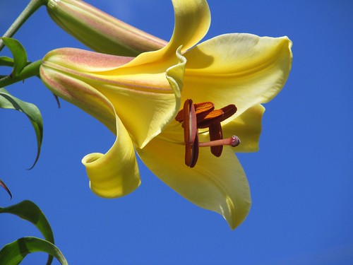 yellow lily blue sky