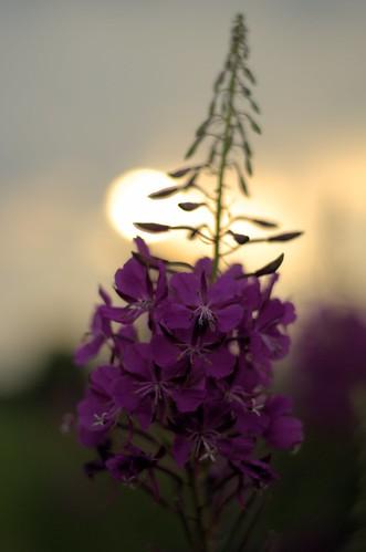 light sunset summer sun flower june juni geotagged licht nikon warm sonnenuntergang sommer lila lilac bremen blume sonne werdersee wonderfulworldofflowers d7000