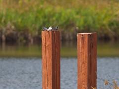 Leucistic Juvenile Barn Swallow