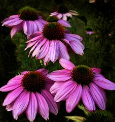 Coneflower Family 6