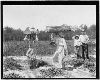 The girl berry carriers on Newton's Farm. Ann Parion, 13 years of age, working her 5th season, carries 60 Lbs. of berries from the field to the sheds, May 1910