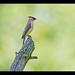 Cedar Waxwing (Bombycilla cedrorum) by Hamilton Images