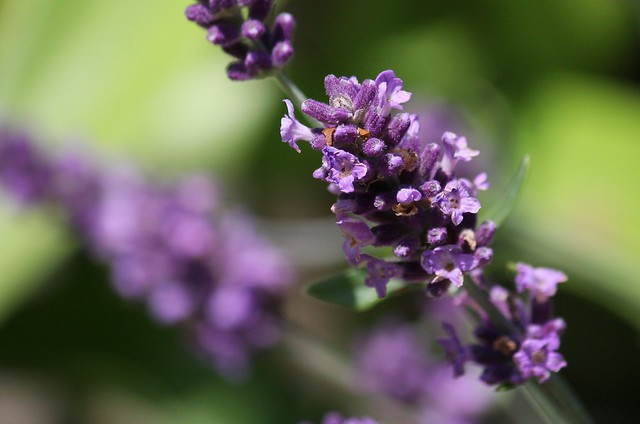 Image of Lavandula angustifolia - Summer Plants in Broward County