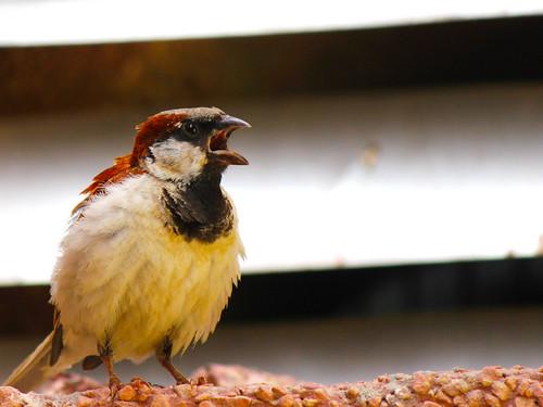 無料写真素材, 動物 , 鳥類, 雀・スズメ