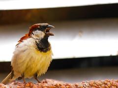 [フリー画像素材] 動物 2, 鳥類, 雀・スズメ ID:201207100400