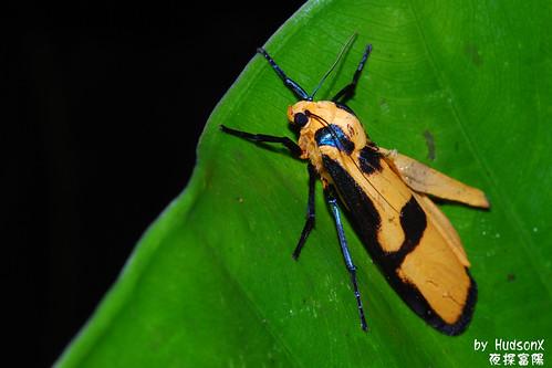 色彩鮮豔的蛾?