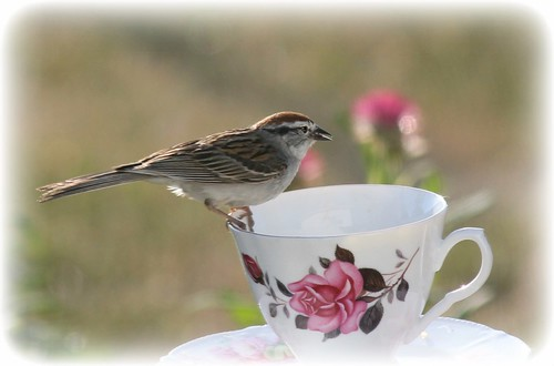 Chirping Sparrow On Cup