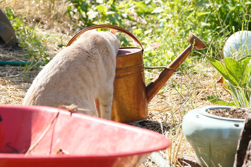 cat with head in watering can...