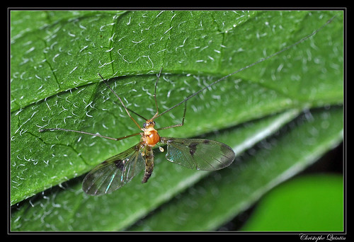 Macrocera phalerata