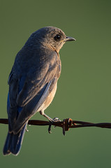 Bluebird_0008.jpg by Mully410 * Images