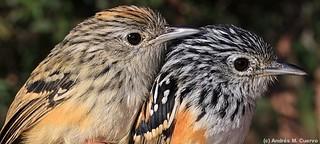 Drymophila klagesi (Klages's Antbird) - female and male