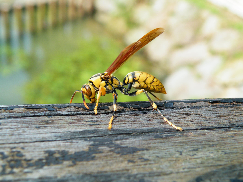 圖一:正在啃咬木頭的黃長腳蜂。