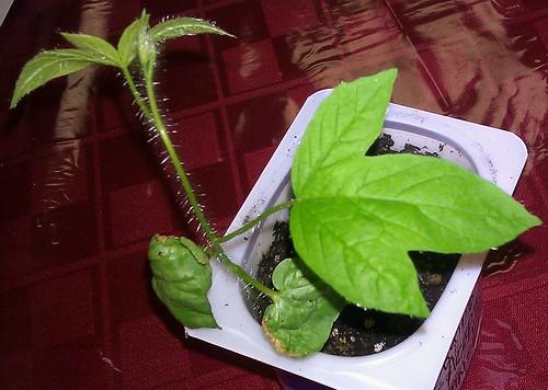 Merremia quinquefolia by Gerris2
