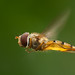 Marmalade Hoverfly (Episyrphus balteatus) in flight *** Explored ***