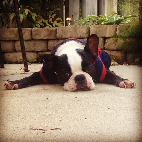 """""""I'm done for the day"""" #bostonterrier"""