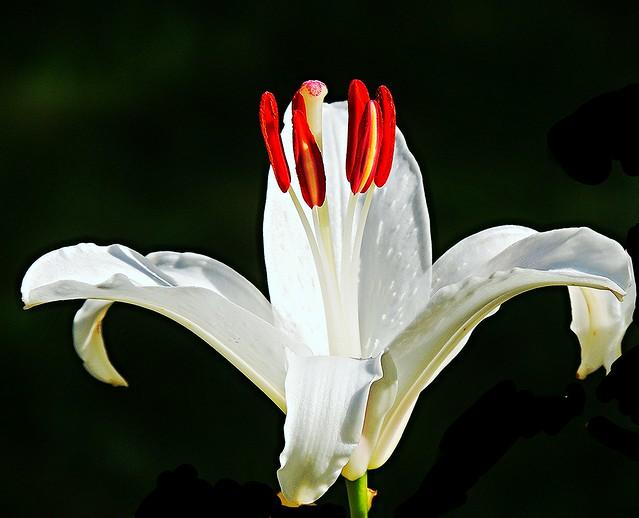my sunday lily
