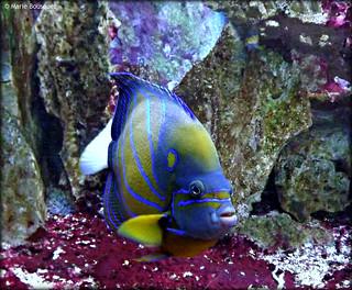 Poisson bleu et jaune