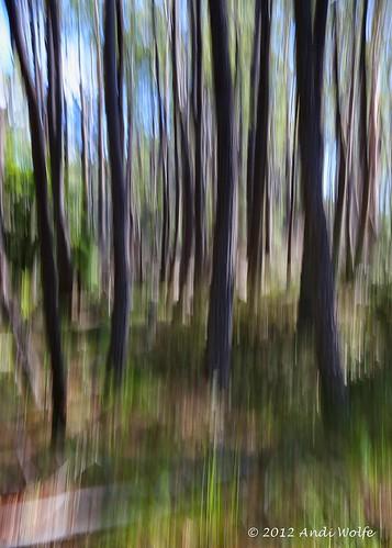 ICM: Eucalyptus grove by andiwolfe (Jet-lagged)