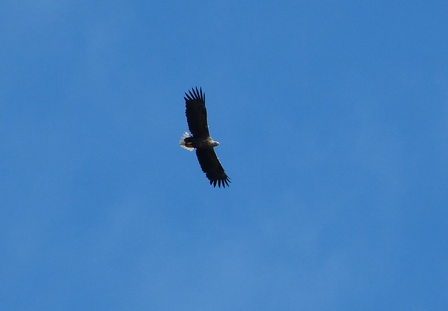 27021 - White Tailed Sea Eagle, Isle of Mull