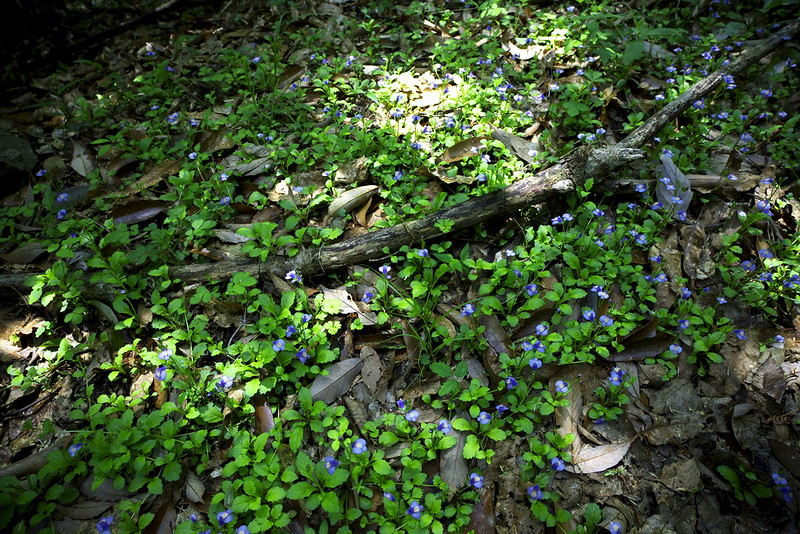 violet spotted field