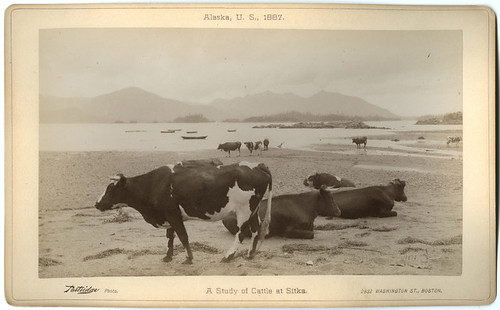 A Study of Cattle at Sitka.