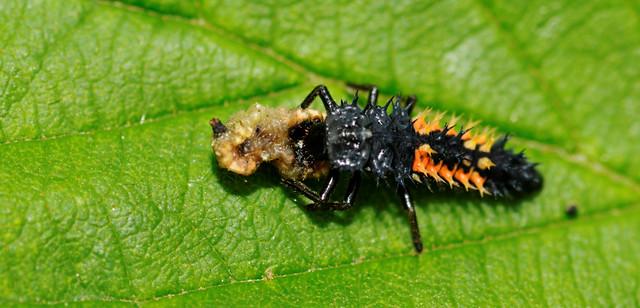 Coccinellidae sp larve de coccinelle coccinellidae sp flickr photo sharing - Larve de coccinelle ...