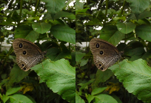 Ypthima yayeyamana, stereo parallel view