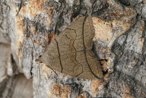 Small Fan-foot (Herminia grisealis)