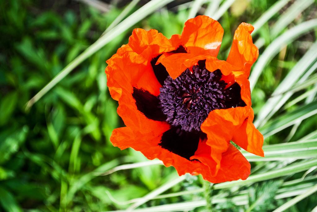 365-313 Poppy