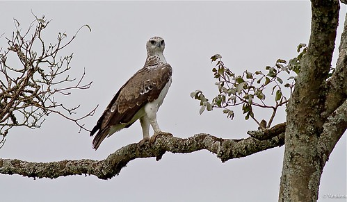 Crowned Eagle, (or martial eagle?) Aberdare, Kenya
