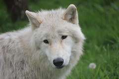 dog breed, animal, dog, pet, white shepherd, berger blanc suisse, greenland dog, wolfdog, carnivoran, wildlife,