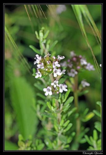 Thym (Thymus sp.)