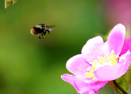 bee with wild rose