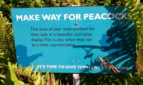 Make way for peacock