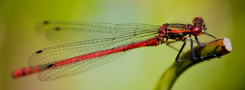Large Red Damselfly by TheUnseenScene (previously AnnerleyIRMacro)