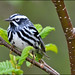 Black-and-white Warbler   ♂ ... Mniotilta varia by Zircon_215