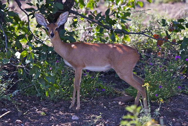 Header of steinbok