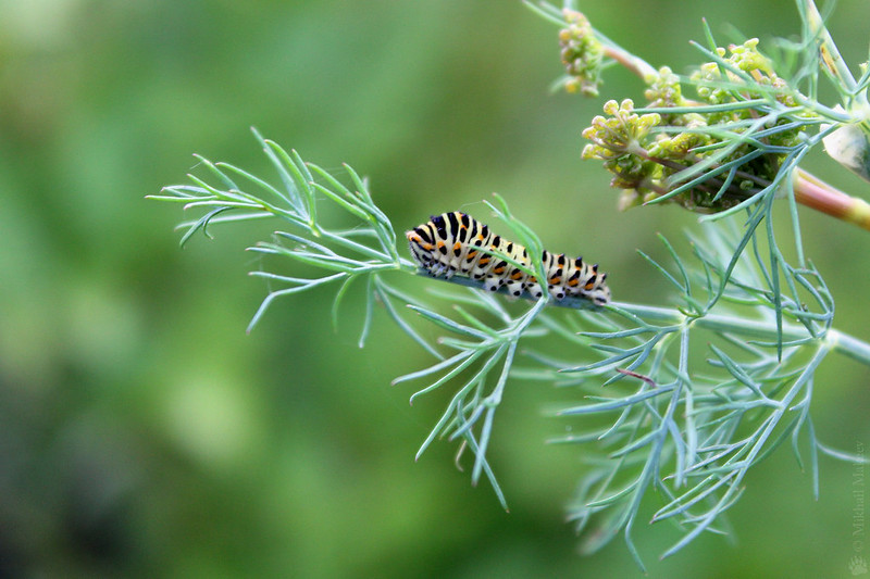 Caterpillar Old World Swallowtail (Papilio machaon) on dill (Anethum graveolens) — Гусеница махаона на укропе