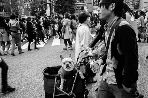 Not everyone crossing at Shibuya is human. This one is of canine origin!