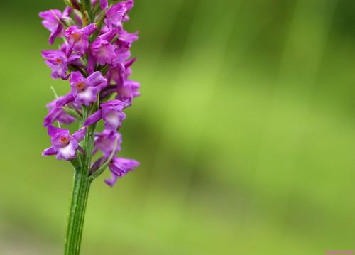 Orchis odorant - Gymnadenia odoratissima - Eternoz -