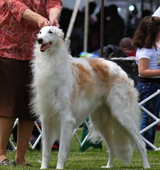 dog sports, animal sports, dog breed, animal, silken windhound, dog, sighthound, pet, mammal, conformation show, borzoi,